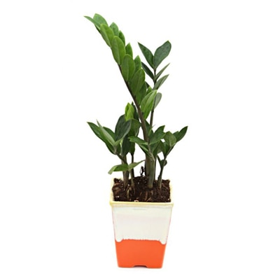 Exotic Green Exclusive Zamifolia Indoor Plant My Orange Pot