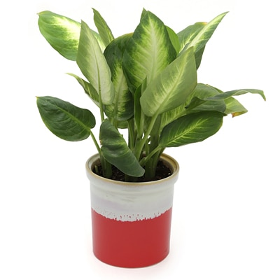 Exotic Green Dieffenbachia Indoor Plant My Orange Pot