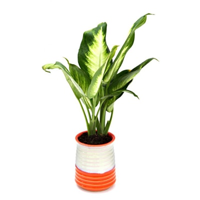 Exotic Green Dieffenbachia Small Indoor Plant My Orange Pot