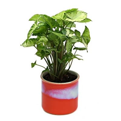 Exotic Green Syngonium Hybrid Indoor Plant My Orange Pot