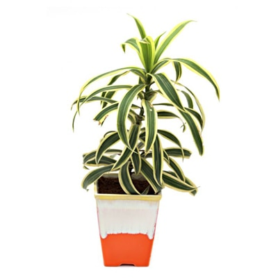 Exotic Green Song Fo India Indoor Plant My Orange Pot